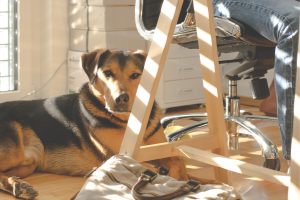 An image of a dog laying under a desk and office chair while someone in blue jeans, sitting at the desk, works.